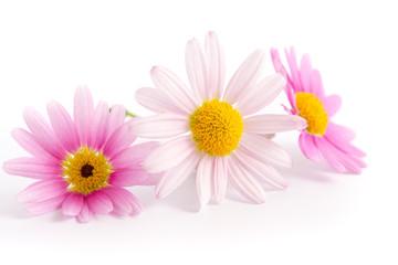 Drei Margeritenblüten
