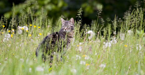 tabby cat in the grass and dandelion