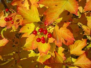 Viburnum bunch against yellow leaves. Autumn