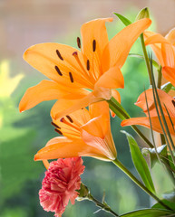Orange lily flower in natural sunlight