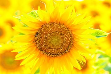 Sunflower close up, backlit