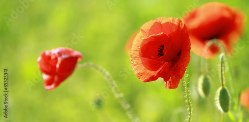 Tuinposter Poppy Close up of poppies