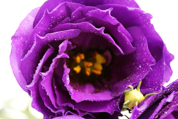 purple eustoma on white background close-up