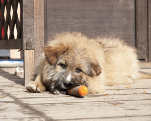 stray puppy eats a carrot in a shelter