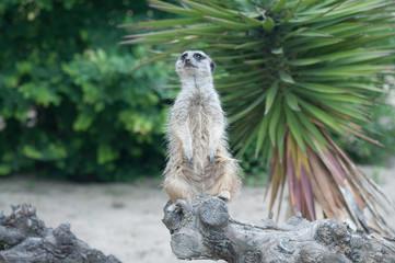 Un suricato fa  sentinella