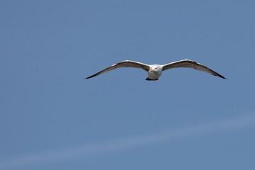 Larus marinus - Goéland marin - Great Black-backed Gull