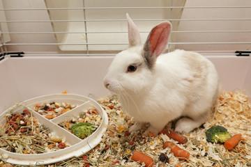 lapin blanc nain dans cage intérieure