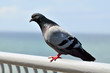 Rock dove (lat. Columba livia)