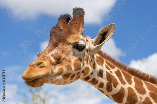 Close up shot of giraffe head