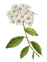 Spiraea bush watercolor