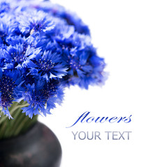 Cornflowers. Wild blue flowers bunch isolated on white