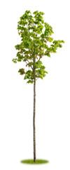 Sehr junger Ahorn im Frühling als Parkbaum
