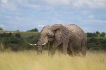 Elefant in der afrikanischen Savanne