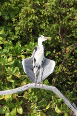 Drying Heron