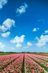 Pink Tulips Field in Spring, The Netherlands