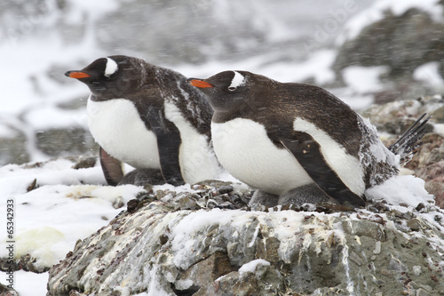 Spoed canvasdoek 2cm dik Antarctica two Gentoo penguins in the snow