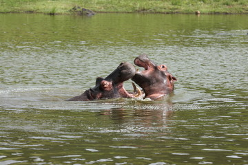 Hippo's Playing
