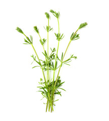 The Cleavers (Galium aparine).