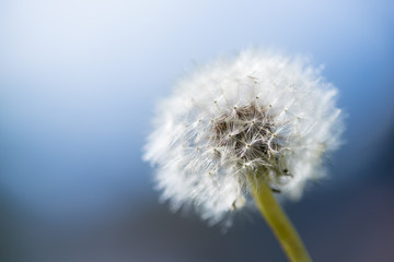 dandelion flower with backlight and blue sky background
