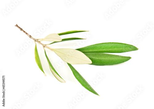 Canvas Olijfboom green olive branch
