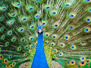 Peacock showing his beautiful feathers