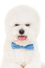 Bichon dog with tie on a white background