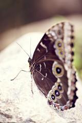 Augen Schmetterling auf Stein