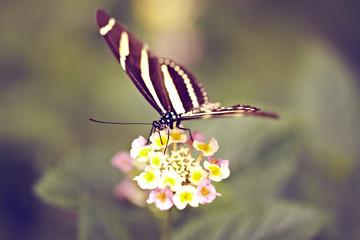 schwarz-weißer Schmetterling auf Blüten