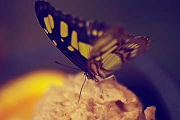 gelb schwarzer Schmetterling Nahaufnahme