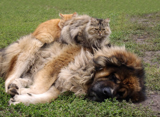 Кавказская овчарка с кошками