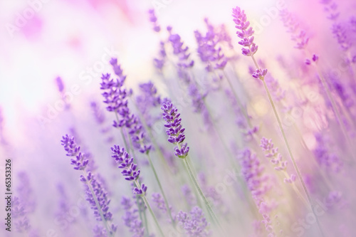 Zdjęcia na płótnie, fototapety na wymiar, obrazy na ścianę : Beautiful lavender