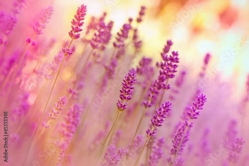 Papiers peints Lavande Lavender in flower garden