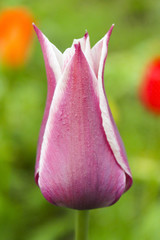 Dutch tulip