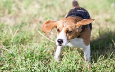 Beagle dog shaking It's head with ears flapping