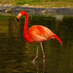 Rosy flamingo at the spring lake