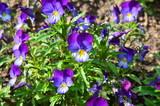 Hornveilchen im Frühlingsgarten