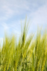 Getreidefeld Gerste