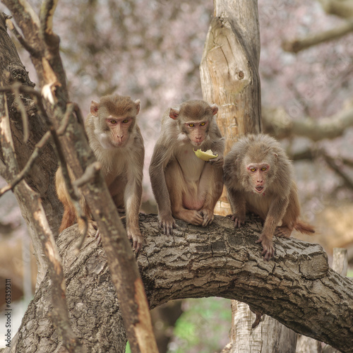 Poster Aap Rhesus macaque in close-up during natural behavior