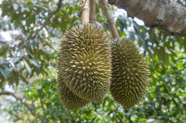 Durian in orchards yield