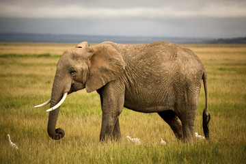 African elephant walking with cattle egrets in grass