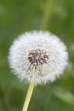 Dandelion seeds - 65360906