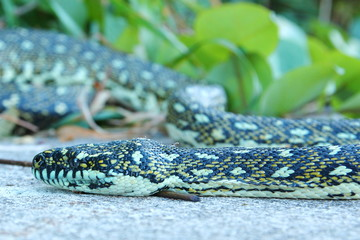 Australian python snake
