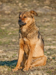 Himalayan dog