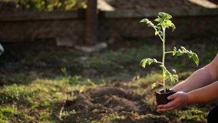 Planting tomato