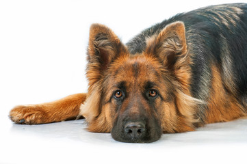 Portrait of german shepherd dog lying isolated on white