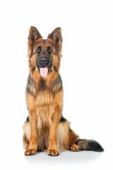 German shepherd dog sitting isolated on white background
