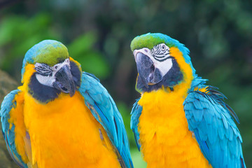 Macaw birds couple