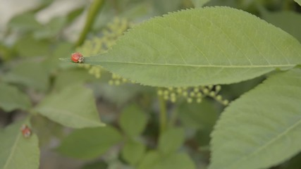 Lady birds on elder.