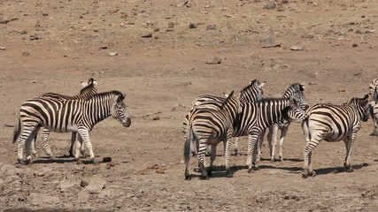 Herd of plains zebras interacting, Pilanesberg National Park