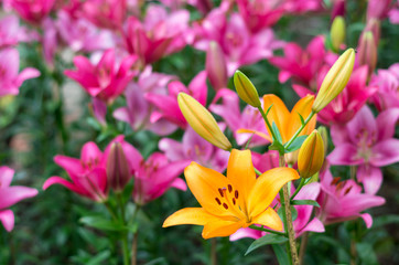 blooming orange lily in field on morning with pink lily backgrou